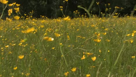 Buttercups-in-Field