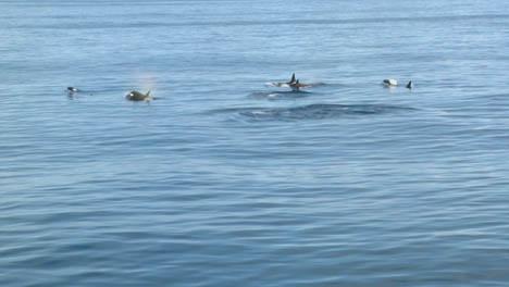 Pod-of-Orcas-1