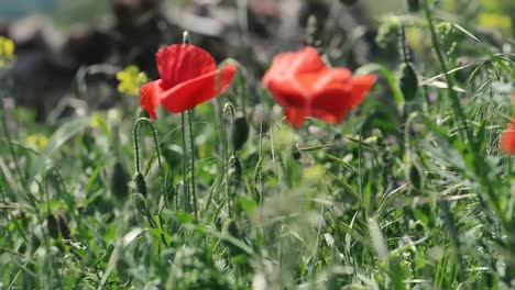 Red-Poppy-Flowers-in-a-Field