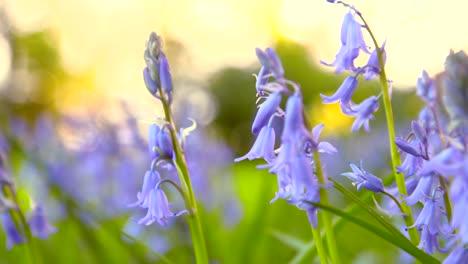 Bluebells-in-Spring-2