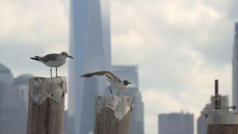 Sea-Gulls-with-New-York-Skyline-in-Background