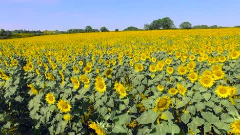 Flying-Over-Sunflower-Field-2