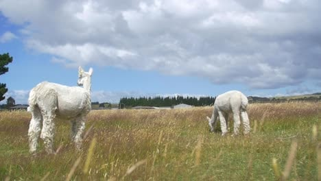 White-Alpacas-in-a-Field