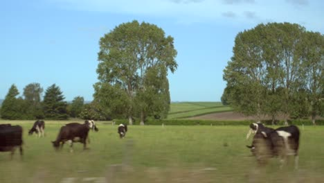 Cows-Grazing