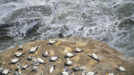 Gannet-Birds-on-Rock