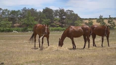 Horses-Eating-Hay