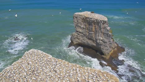 Gannet-Birds-Flying-Around-Colony