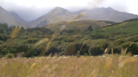 Sheep-Grazing-in-New-Zealand-Meadow