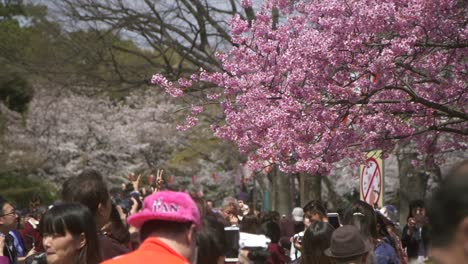 People-Looking-at-Pink-Sakura-Tree