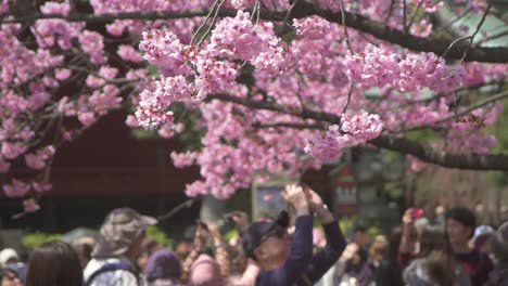 Tourist-Taking-Photo-of-Pink-Sakura