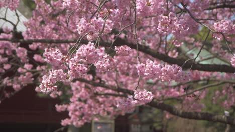 Pink-Sakura