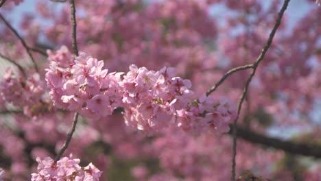 Pink-Sakura-Flowers