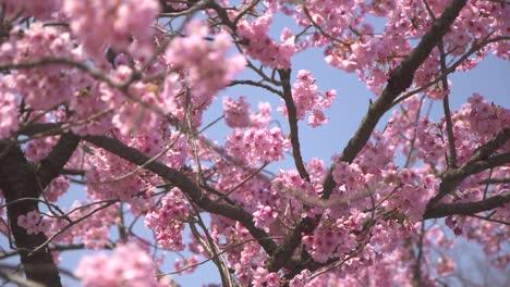 Pink-Sakura-Tree