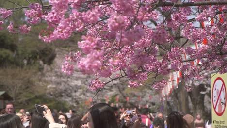 Tourists-Photographing-Pink-Sakura