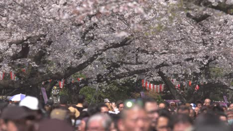 Tourists-Walking-Beneath-Cherry-Blossom