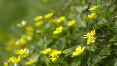 Buttercups-in-Meadow-Static-Shot