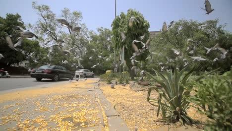 Pigeons-Take-Flight-Over-a-Sidewalk