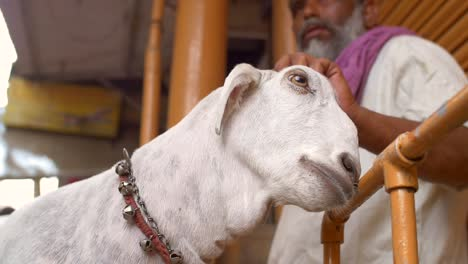Indian-Man-Petting-a-Goat