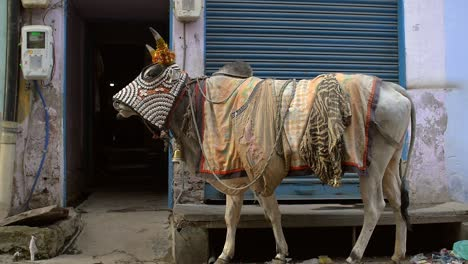 Indian-Cow-Wearing-Blanket-and-Fly-Cover