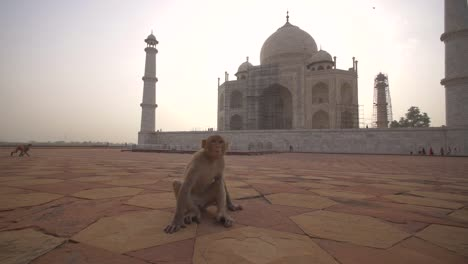 Approaching-a-Monkey-by-the-Taj-Mahal