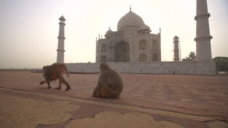 Two-Monkeys-Sitting-by-the-Taj-Mahal