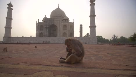Mother-and-Baby-Monkey-by-the-Taj-Mahal