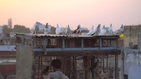Pigeons-Sit-Atop-a-Rooftop-Birdcage