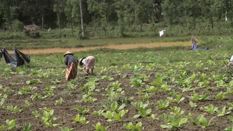 Two-Workers-in-a-Tobacco-Field