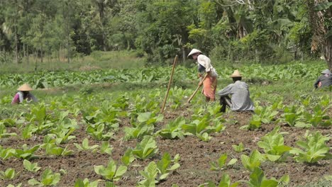 Woman-Breaking-Up-Soil-in-a-Tobacco-Field
