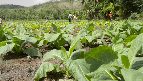 Low-Level-Shot-of-Workers-in-a-Tobacco-Field
