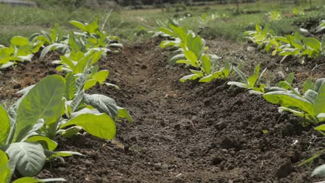 Close-Up-of-Rows-of-Tobacco-Plants