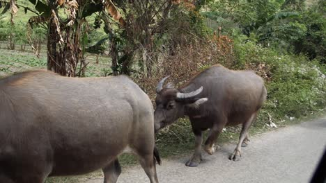 Banteng-Cows-Walking-Along-the-Roadside