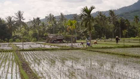 Workers-in-an-Indonesian-Rice-Paddy