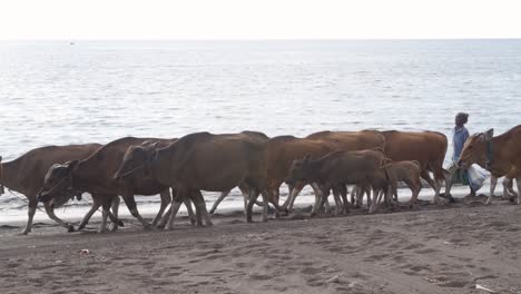 Woman-Herding-Banteng-Cows-by-the-Sea