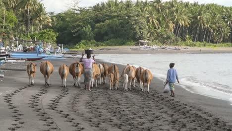 Indonesian-Women-Herding-Cows-on-a-Beach