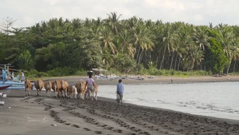 Women-Herding-Banteng-Cows-on-a-Beach