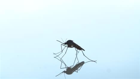 Mosquito-Macro-Shot-Blur-In