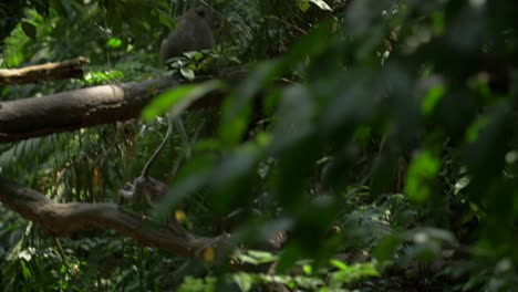 Monkeys-Playing-Amongst-Leafy-Branches