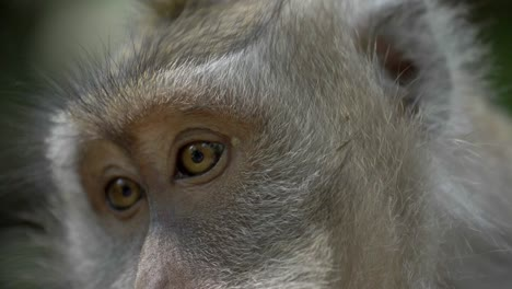 Close-Up-of-a-Macaques-Eyes-and-Face