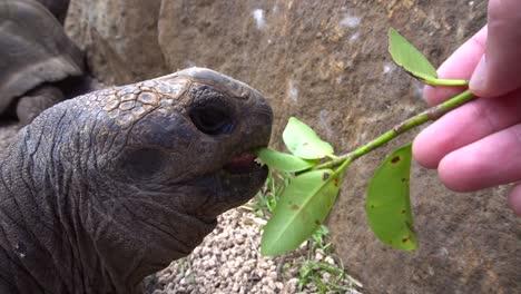 Feeding-a-Giant-Aldabra-Tortoise
