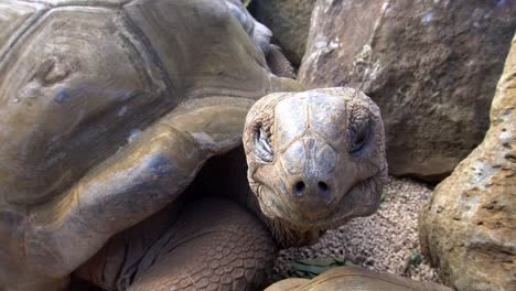 Close-Up-of-Giant-Aldabra-Tortoise