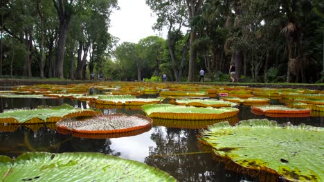 Giant-Water-Lilies-in-Mauritius-Botanical-Gardens