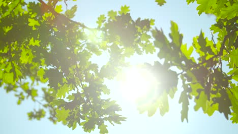 Sunlight-Through-Oak-Tree-Leaves-01