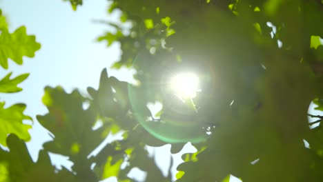 Sunlight-Through-Oak-Tree-Leaves-04