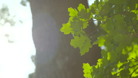 Oak-Tree-Leaves-in-Sunlight