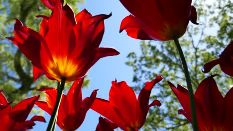 4K-Tulips