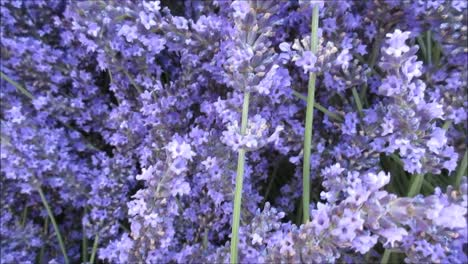 Bumble-Bee-and-Lavenders