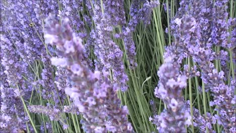 Bumble-Bee-and-Lavenders-2