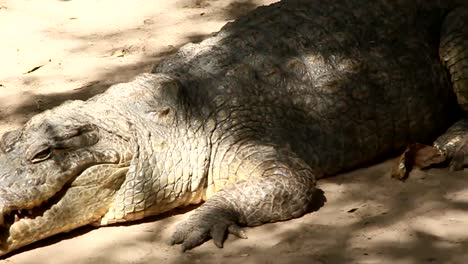 Alligator-CC-BY-NatureClip