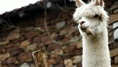 Alpaca-Close-Up